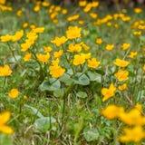 Il campo dei palustris di fioritura del Caltha di ranuncolo di giallo fiorisce Fotografie Stock