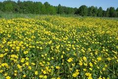 Il campo dei ranuncoli gialli di fioritura Fotografia Stock Libera da Diritti