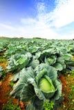 Il campo del cavolo verde Fotografie Stock