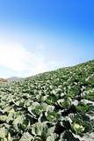Il campo del cavolo verde Immagine Stock