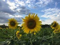 Il campo del fiore di Sun Immagine Stock Libera da Diritti
