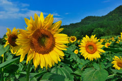 Il campo del fiore di Sun Fotografia Stock
