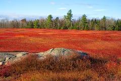 Il campo del mirtillo rosso va con gli alberi e la roccia Fotografie Stock Libere da Diritti