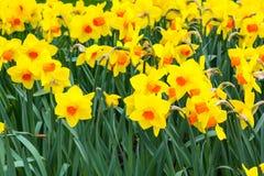 Il campo del narciso giallo fiorisce la fioritura nel fondo panoramico di primavera Immagini Stock