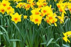 Il campo del narciso giallo fiorisce la fioritura nel fondo panoramico di primavera Fotografie Stock Libere da Diritti