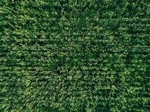 Il campo del paese di grano verde con la fila allinea, vista superiore, foto aerea Fotografie Stock