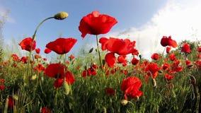 Il campo del papavero rosso fiorisce nel vento archivi video