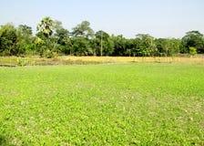 Il campo del raccolto verde sta guardando molto piacevole immagine stock