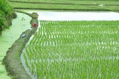 Il campo del riso Immagini Stock Libere da Diritti