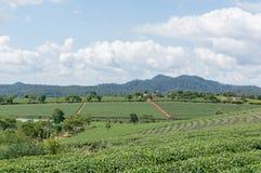 Il campo del tè Fotografia Stock Libera da Diritti
