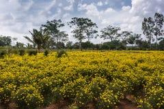 Il campo del tagete giallo fiorisce nel Karnataka del sud, India Immagini Stock