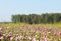 Il campo del trifoglio un giorno soleggiato Immagine Stock