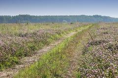 Il campo del trifoglio un giorno soleggiato Fotografia Stock Libera da Diritti