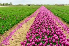 Il campo del tulipano con i fiori di fioritura di porpora parzialmente ha meccanizzato il Cu Fotografia Stock Libera da Diritti