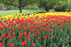 Il campo del tulipano rosso e giallo fiorisce in un giardino Fotografie Stock Libere da Diritti