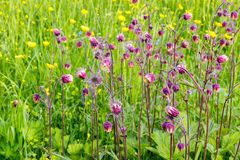 Il campo dell'estate fiorisce, ranuncoli, i nontiscordardime, le spine, alta erba succosa Immagine Stock