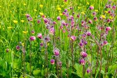 Il campo dell'estate fiorisce, ranuncoli, i nontiscordardime, le spine, alta erba succosa Immagini Stock