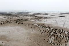 Il campo dell'ostrica su mudflat Immagine Stock