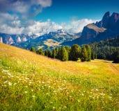 Il campo della camomilla di fioritura fiorisce nelle alpi della dolomia Piz Boe Mo Fotografia Stock Libera da Diritti