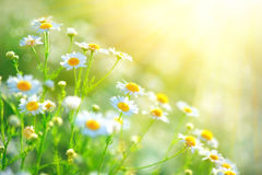 Il campo della camomilla fiorisce il confine Bella scena della natura