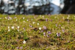 Il campo della montagna fiorisce nelle alpi austriache Fotografia Stock