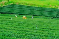 Il campo della piantagione di tè verde Immagini Stock Libere da Diritti