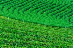 Il campo della piantagione di tè verde Fotografia Stock