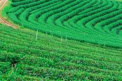 Il campo della piantagione di tè verde Immagini Stock