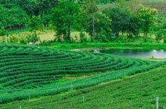 Il campo della piantagione di tè verde Fotografia Stock Libera da Diritti