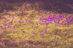 Il campo della prima molla di fioritura fiorisce il croco in montagne Immagine Stock