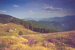 Il campo della prima molla di fioritura fiorisce il croco non appena la neve discende sui precedenti delle montagne al sole Fotografia Stock Libera da Diritti