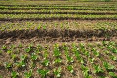 Il campo della verdura Fotografia Stock Libera da Diritti