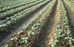 Il campo della verdura della campagna Immagini Stock