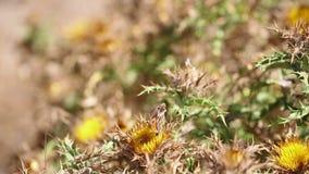 Il campo delle piante selvatiche carline dei cardi selvatici (hispanica del Carlina) e un prato bruniscono la farfalla (jurtina d stock footage