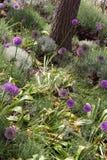 Il campo di allium fiorisce (christophii dell'allium) Fotografia Stock Libera da Diritti