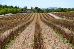 Il campo di aloe vera in azienda agricola organica Immagini Stock Libere da Diritti