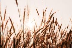 Il campo di erba al tramonto o all'alba, erba fiorisce con l'orlo di sunl Fotografie Stock Libere da Diritti