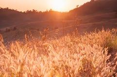 Il campo di erba al tramonto o all'alba, erba fiorisce con l'orlo di sunl Immagine Stock