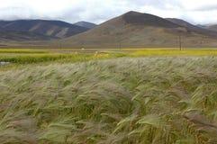 Il campo di frumento tibetano Fotografie Stock