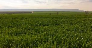 Il campo di giovane grano Erba verde del fondo Orecchie verdi del grano nel campo Prato inglese verde per fondo Fotografia Stock