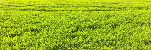 Il campo di giovane grano Erba verde del fondo Orecchie verdi del grano nel campo Prato inglese verde per fondo Fotografia Stock Libera da Diritti