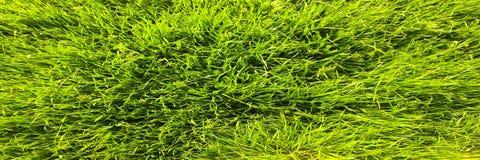 Il campo di giovane grano Erba verde del fondo Orecchie verdi del grano nel campo Prato inglese verde per fondo Immagine Stock Libera da Diritti