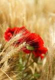 Il campo di grano dorato con il papavero rosso fiorisce Immagini Stock