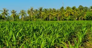 Il campo di grano e la noce di cocco che crescono nel giardino nella campagna della Tailandia, sembrano freschi e bei Agricoltura Immagini Stock