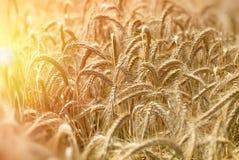 Il campo di grano indica un raccolto ricco - sera nel giacimento di grano fotografia stock libera da diritti