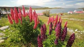 Il campo di lupino fiorisce nel muoversi del primo piano delle montagne di Patagonia video d archivio