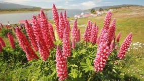 Il campo di lupino fiorisce nel muoversi del primo piano delle montagne di Patagonia stock footage