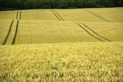 Il campo di mais yelden le contee Inghilterra della casa del bedfordshire del villaggio Immagini Stock Libere da Diritti