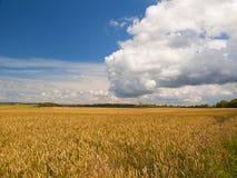 Il campo di matura il grano alla luce solare Immagini Stock Libere da Diritti