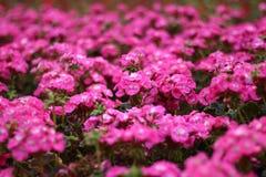 Il campo di rosso fiorisce il pelargonium zonale nel giardino fotografia stock libera da diritti